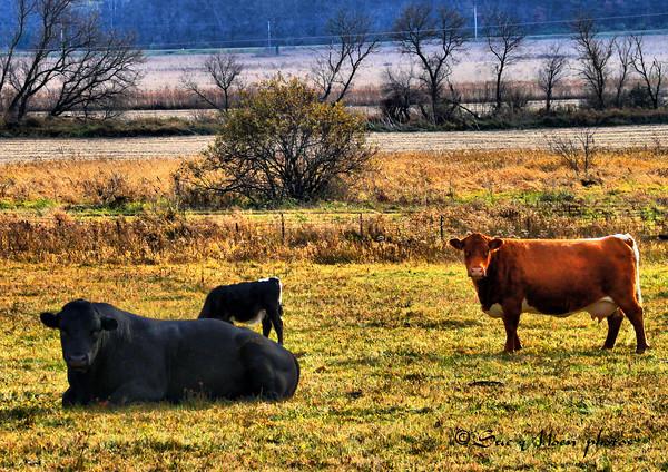 Cows_5108892107_o