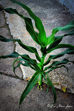 Oddly, a stalk of corn is growing in the parking lot just underneath my window. It's over two feet high, and I hope no one decides to cut it down or run it over. It'll be amusing to see how tall it may get. It's on the north side of the building so it really doesn't get much sun.