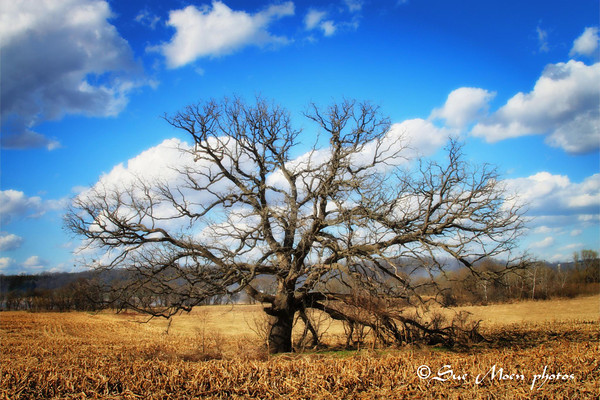 Lone Oak_4489678771_o