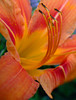 Another view of one of the daylilies in my back yard.