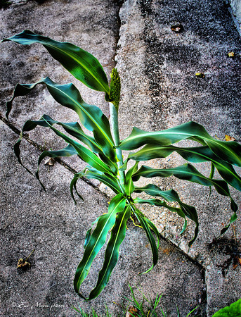 The cornstalk is still surviving, and has in fact tassled. It's growing out of a crack in the cement, in the parking lot. Hopefully no one decides to knock it down.