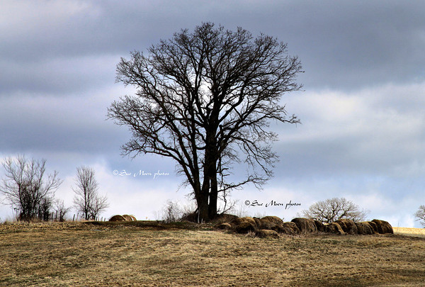 The snow had melted leaving an unobstructed view of the old Tree standing on the hill among the round bales.