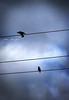 Birds Wire9951