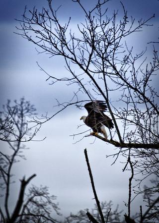 Eagle_9255