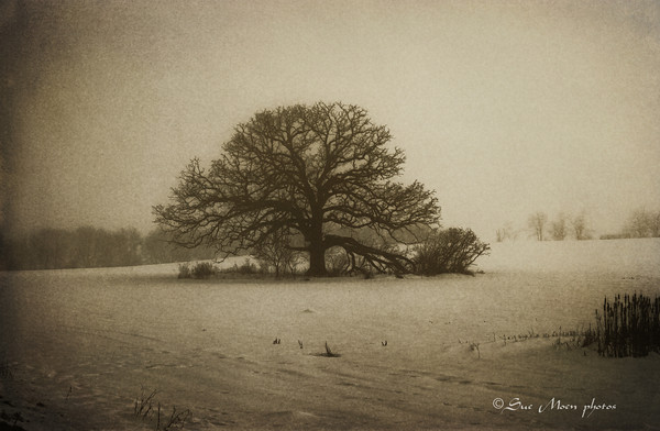 The oak tree stood  majestically in the snow covered field.