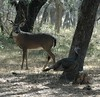 ..this buck seems  ill at ease with this gobbler eating his acorns...south texas---king ranch...