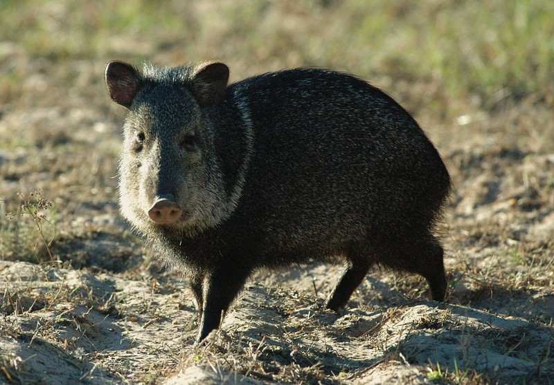 ...they taste horrible...they root up everything and they are not in the pig family...these javelina are all over south texas..