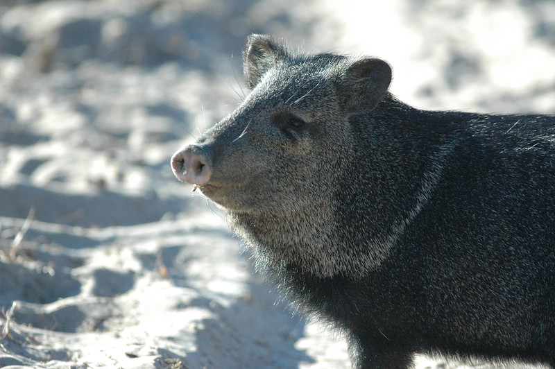...javelina in the sun...sounds like the title of  a texas love song