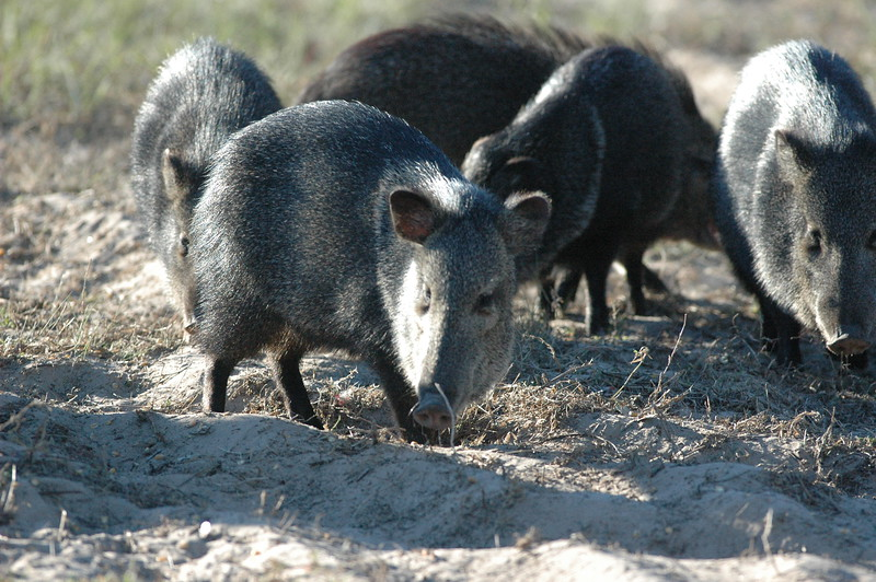 ..they can make a racket..they can make a mess of things...these javelina of south texas...
