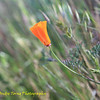 201-Irvine Ranch Wildlands and Parks - Bommer Canyon lone poppy