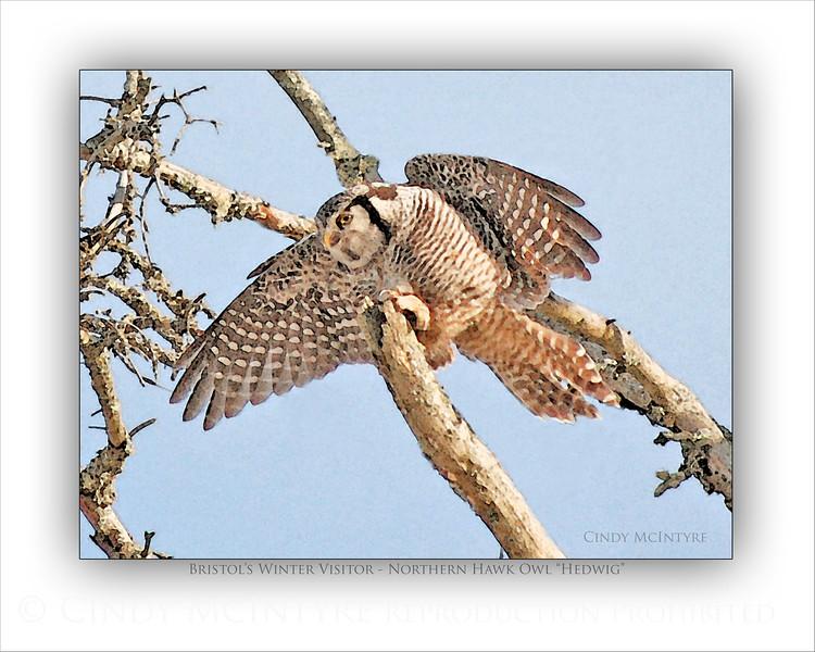 Hawk Owl Tree Flight