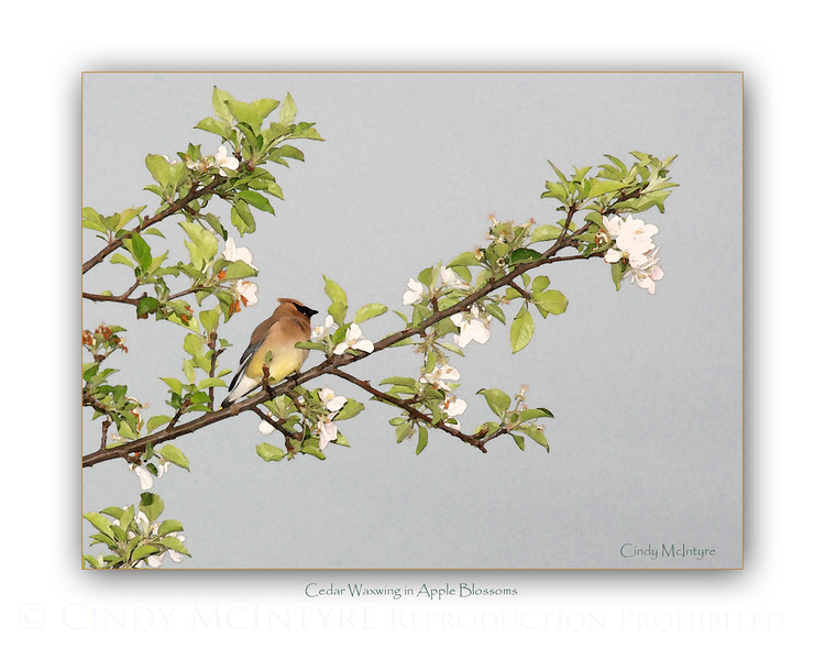 Cedar Waxwing and Apple Blossoms