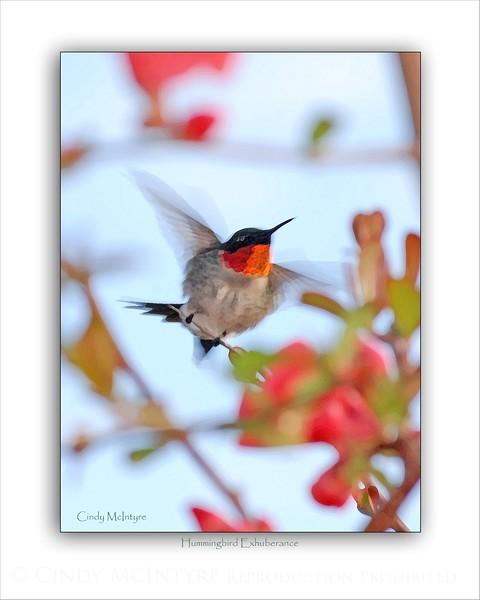 Hummingbird Exhuberance DB