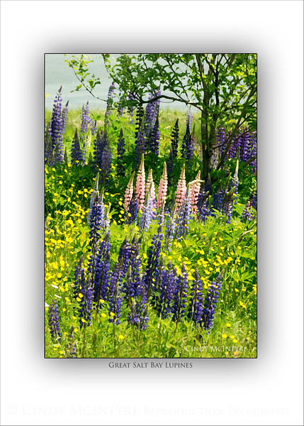 Great Salt Bay Lupines