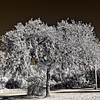 Orange Springs Tree in Infrared