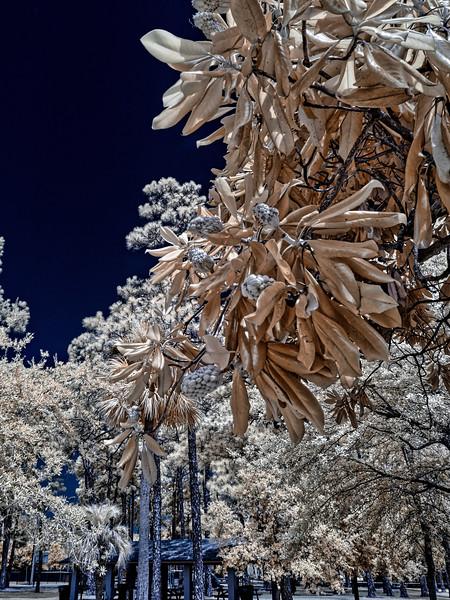 Magnolias in Infrared