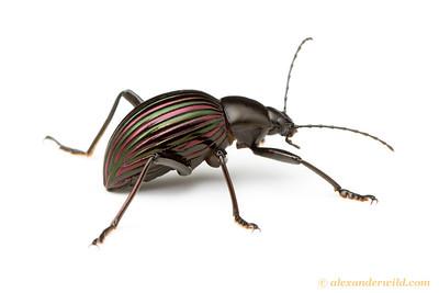 Hegemona darkling beetle - Belize