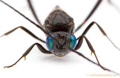 Evania appendigaster ensign wasp - Arizona, USA