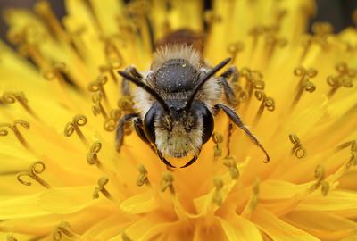 Andrenid mining bee - Illinois, USA