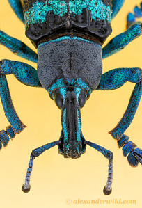 Eupholus weevil - Borneo
