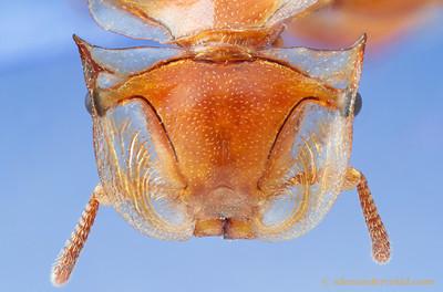 Cephalotes clypeatus golden turtle ant - Paraguay