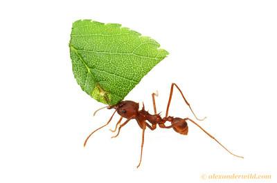 Atta texana leafcutter ant - Texas, USA