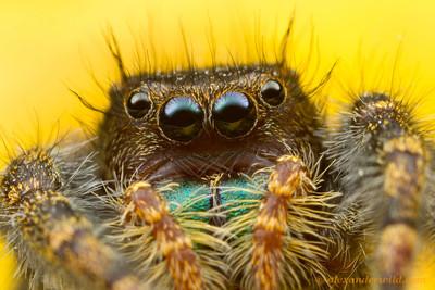 Phidippus audax jumping spider - Illinois, USA