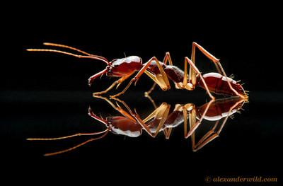 Odontomachus rixosus trap-jaw ant - Cambodia