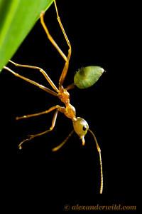 Oecophylla smaragdina green tree ant - Queensland, Australia