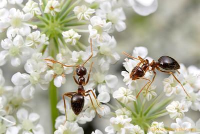Prenolepis imparis winter ants - Illinois, USA