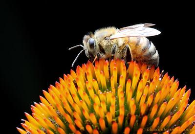 Apis mellifera honey bee worker - Illinois, USA