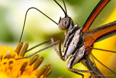 Greta oto glasswing butterfly - Belize