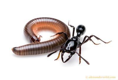 Plectroctena cristata huntress ant with prey - Uganda