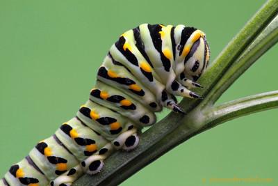Papilio polyxenes parsley caterpiller - Illinois, USA