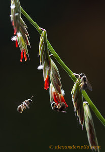Lasioglossum sweat bees collecting pollen from sideoats grama - Illinois, USA