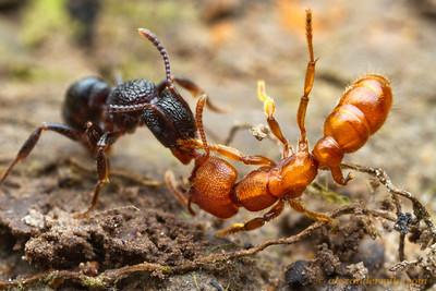 Rhytidoponera victoriae (left) fighting with Stigmatomma ferruginea - Victoria, Australia
