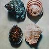 Four Seashells