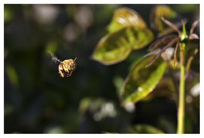 Bee caught in flight