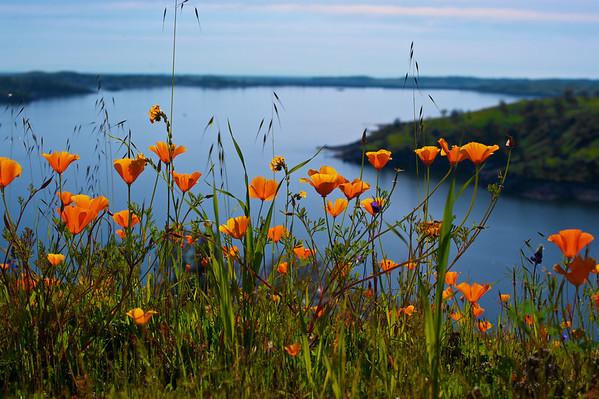 Poppies over Millerton Lake Ca.