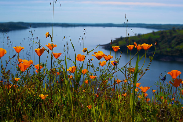 Poppies over Millerton Lake Ca.