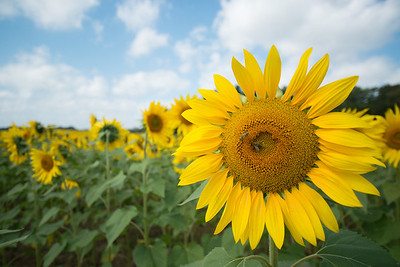sunflowers14-5510