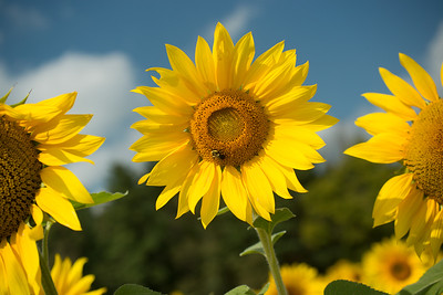 sunflowers14-5674