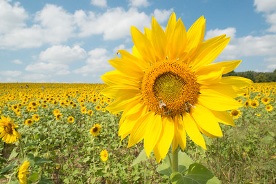 sunflowers14-adjusted-5881