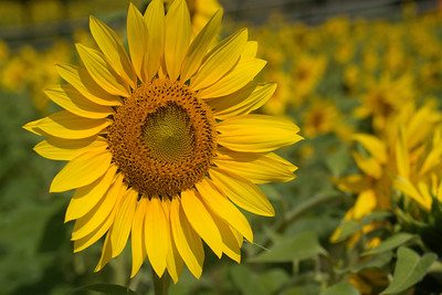 sunflowers14-5738