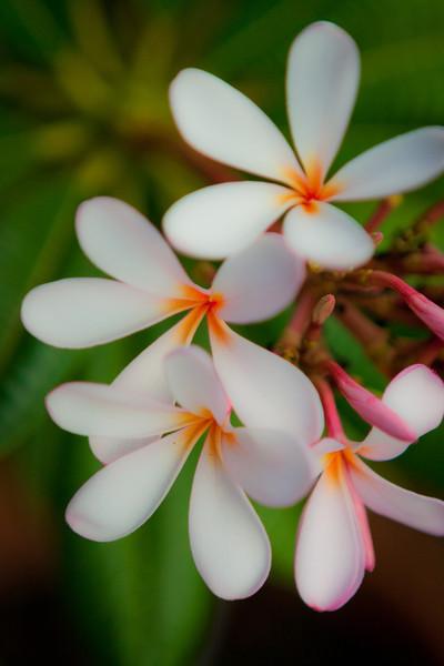 Orange Throat Plumeria