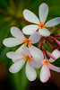 Orange Throat Plumeria