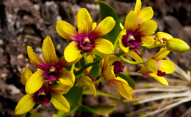 Aulii Orchids