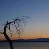 Knarled Tree & Quarter Moon Over Olympic Mountains & Useless Bay, Washington