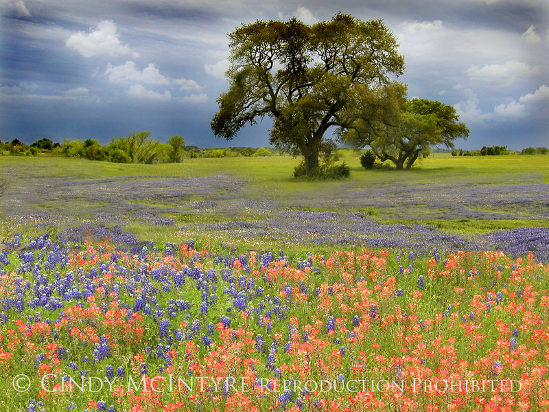 Bluebonnets, Paintbrush and Oak