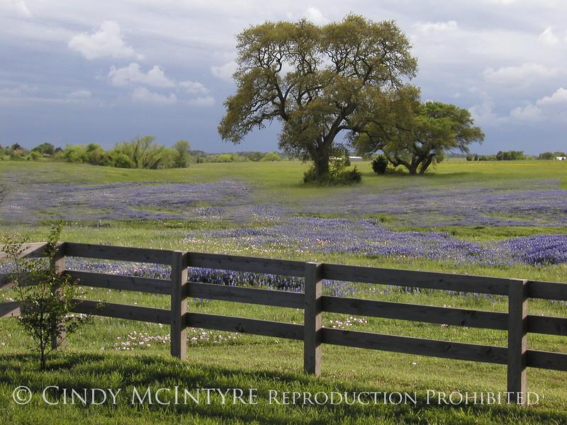 Bluebonnets and Oak copy